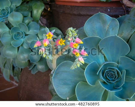 Image of flowering potted succulents in Asturias, Spain #482760895
