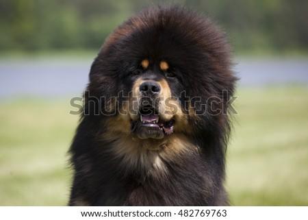 Beautiful big Tibetan mastiff dog #482769763