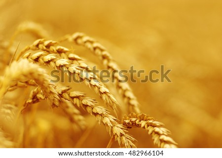 Wheat closeup.  #482966104