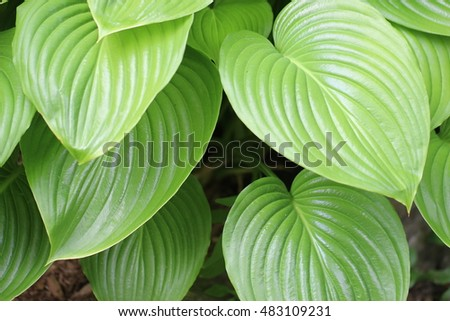 Closeup of  the leaves on a green hosta   growing in garden. #483109231