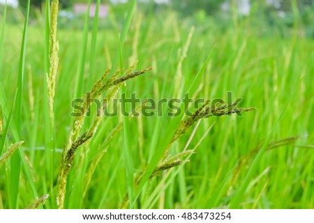 organic rice paddy in agriculture rice field #483473254