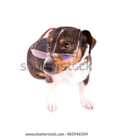 Jack Russell Terrier with glasses on a white background