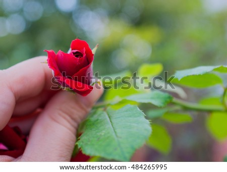 Rosebud red roses in hand #484265995