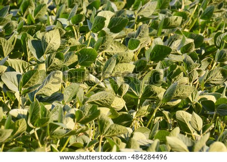 Photo Picture of a Soy Bean Plant Field  #484284496