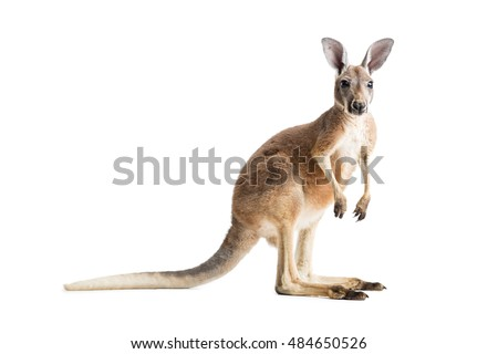Red kangaroo on white background.
