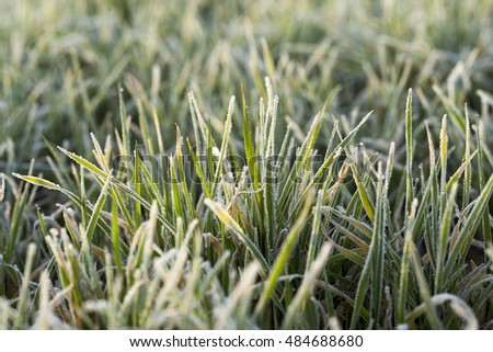 photographed close up young grass plants green wheat growing on agricultural field,  morning frost on leaves #484688680