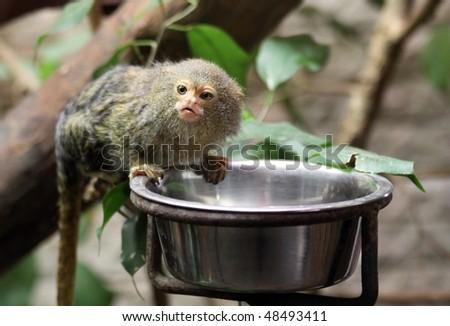 Pygmy Marmoset #48493411