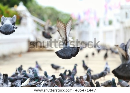 Pigeon stray in Thailand #485471449