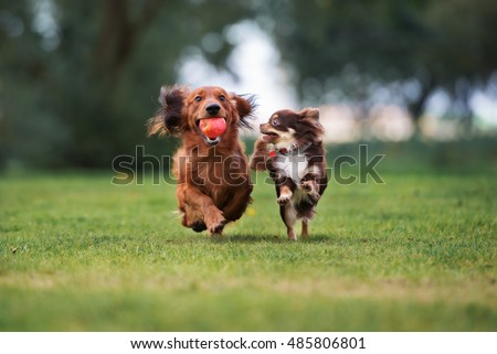 two small dogs playing together outdoors #485806801