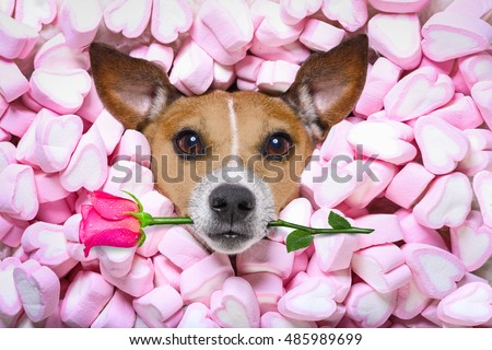 Jack russell  dog looking and staring at you   ,while lying on bed full of marshmallows as background  , in love, pink rose in mouth, on valentines day