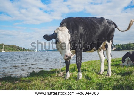 Black and white cow by a river in the summer #486044983