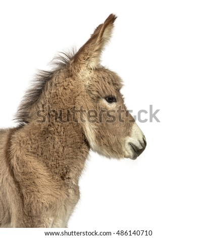 Close-up of a young Provence donkey, foal looking away isolated on white #486140710