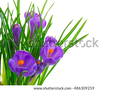 Crocus flowers isolated on white background in macro lens shot. #486309259
