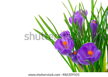 Crocus flowers isolated on white background in macro lens shot. #486309505