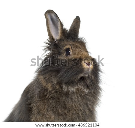 Close-up of Mini Lop Rabbit isolated on white #486521104