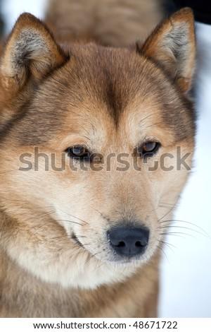 Beauty husky dog portrait #48671722