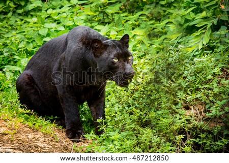 black panther #487212850