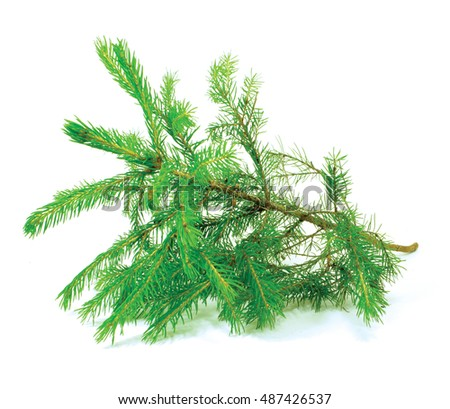 small spruce tree isolated on white #487426537