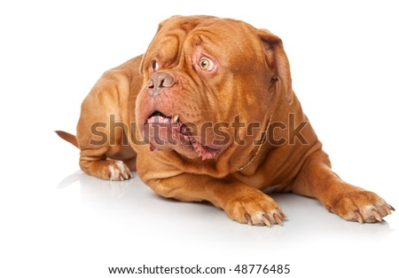 Dogue de Bordeaux (French mastiff). Isolated on white background #48776485