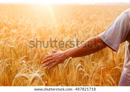 A man with his back to the viewer in a field of wheat touched by the hand of spikes in the sunset light. #487821718