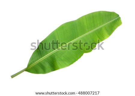 Banana leaf on a white background. #488007217