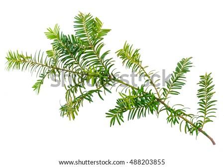 yew twig isolated on white background #488203855
