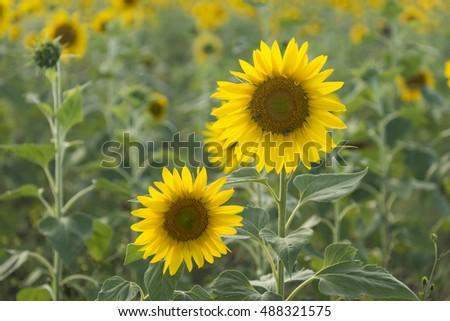 Two sunflowers in a sunflower field near Toowoomba, Queensland, Australia #488321575