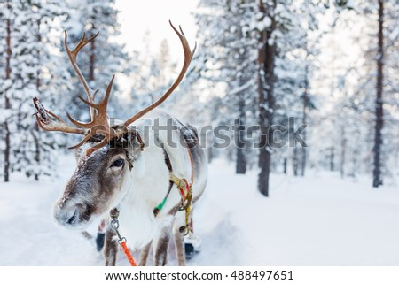 Reindeer in a winter forest in Finnish Lapland Royalty-Free Stock Photo #488497651