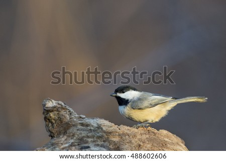 A black and white Carolina Chickadee perches on a dead log in the morning sun. #488602606