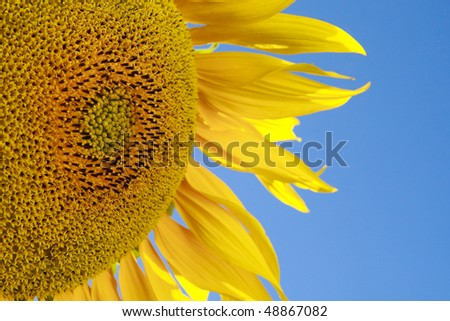 Macro of yellow sunflower against blue sky #48867082