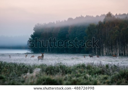 Red deer leader and herd against misty forest early in the morning during the rut in Belarus #488726998