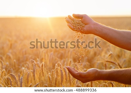 The hands of a farmer close up pour a handful of wheat grains in a wheat field. #488899336