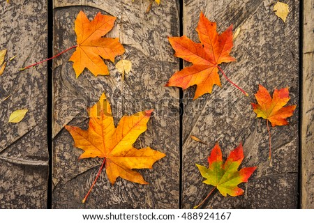 Autumn maple leaf on wooden background in the autumnal city park. Red and orange group leaf outdoor.wallpaper autumn leaves in beautiful fall park. Autumn nature concept. #488924167
