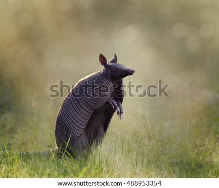 Nine-banded armadillo at sunset