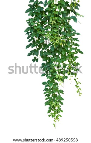 Wild climbing vine ivy plant, Bush grape or Cayratia trifolia (Linn.) Domin. isolated on white background with clipping path. Hanging bush of jungle vines.