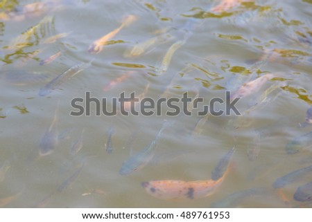 Many carp swimming in the Pond #489761953