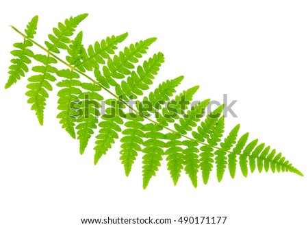 leaf fern isolated on white background in macro lens shooting #490171177