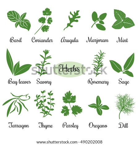 Big vector set of popular fresh culinary herbs silhouettes. Basil, coriander, arugula, marjoram, mint, bay leaves, savory, rosemary, sage tarragon, thyme, parsley, oregano, dill #490202008
