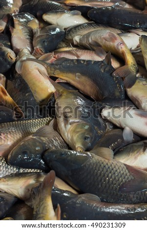 Fish farming, farm for the breeding of carp, pike and sturgeon. Catch biomass and manual sorting of fish. #490231309