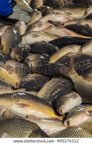 Fish farming, farm for the breeding of carp, pike and sturgeon. Catch biomass and manual sorting of fish. #490276552