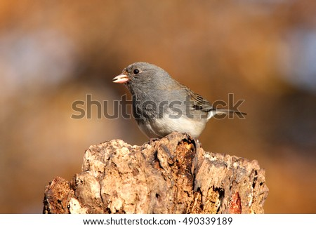 Dark-eyed Junco (junco hyemalis) on a perch in winter #490339189