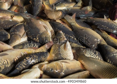 Fresh fish carp. Texture scales, tail and fins. #490349860