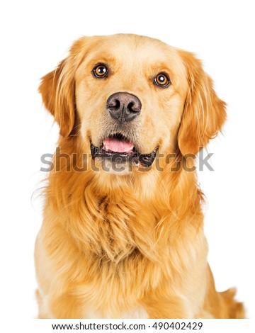Closeup portrait of a happy and smiling Golden Retriever dog over white #490402429
