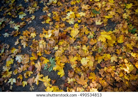 Background of fallen yellow maple leaves on wet autumn ground.  #490534813