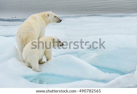 polar bear mother and cub along ice floe in arctic ocean above norway's svalbard islands #490782565