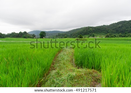 rice field in the Thailand. The village is in a valley among the rice field. Rice cultivation in the North of the Thailand, Chiang-mai. #491217571