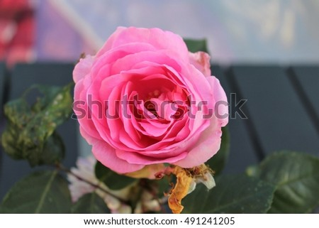 rose #491241205