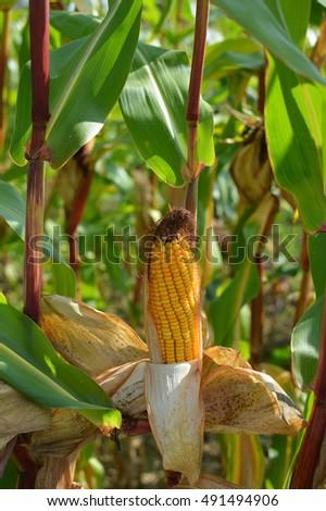 Corncob in the corn field #491494906