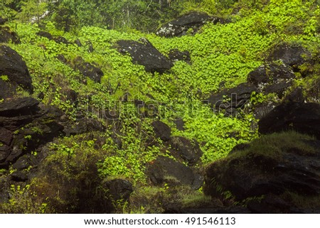 Plants, common lady's mantle on a wet cliff. The mist from a waterfall makes the leaves wet during the summer. #491546113