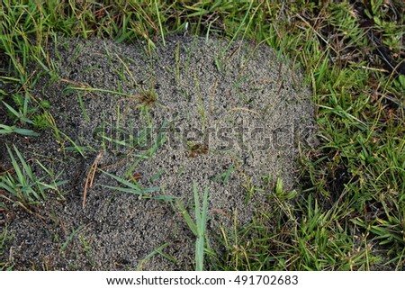 FIRE ANTS MOUND